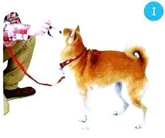 训练柴犬坐下1.jpg