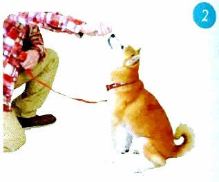 训练柴犬坐下2.jpg
