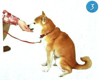 训练柴犬坐下3.jpg