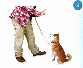 训练柴犬坐下4.jpg