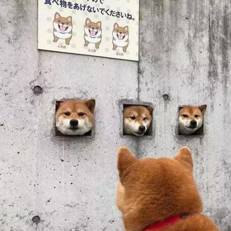 卡洞三柴犬.jpg