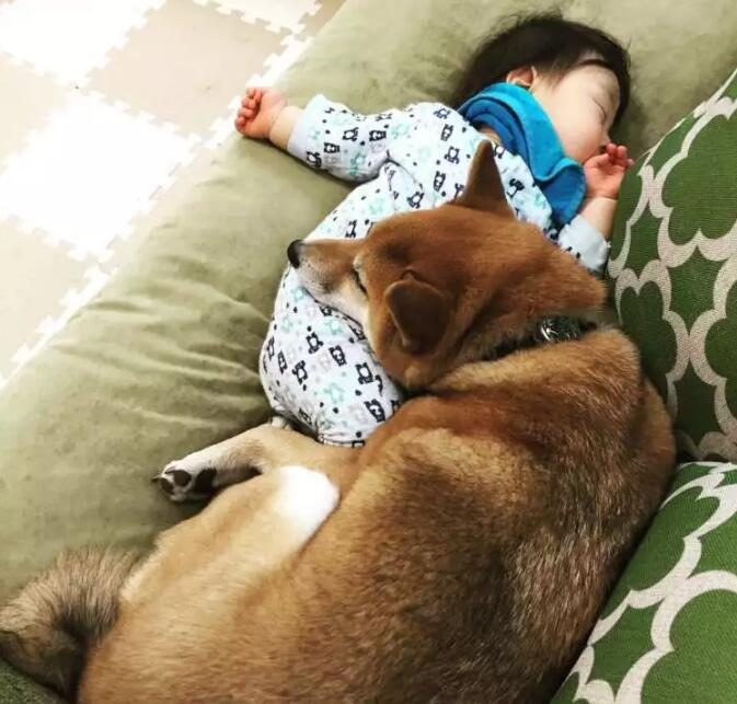 与孩子相伴的柴犬