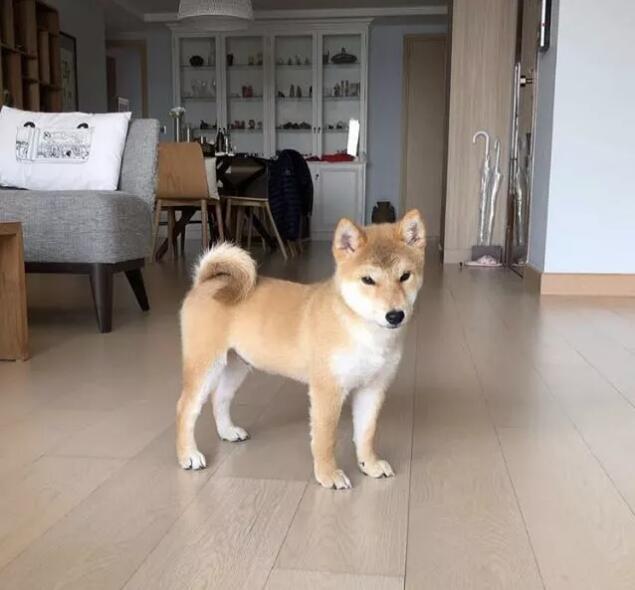 小柴犬玩游戏.jpg