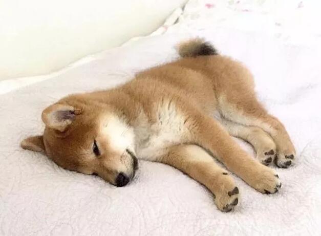 小柴犬休息.jpg