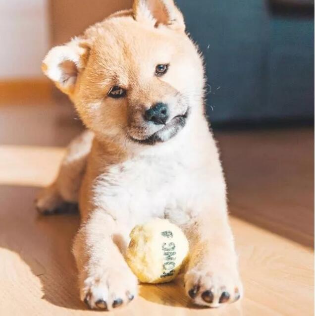 小柴犬玩球.jpg
