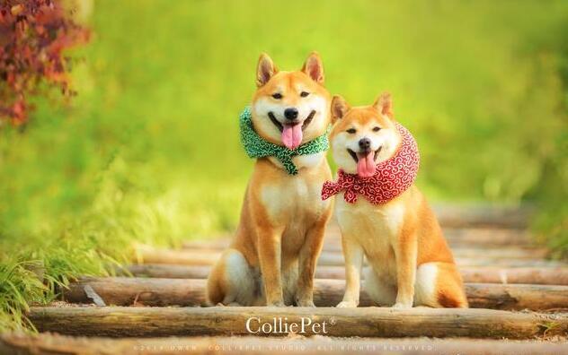 两只柴犬.jpg
