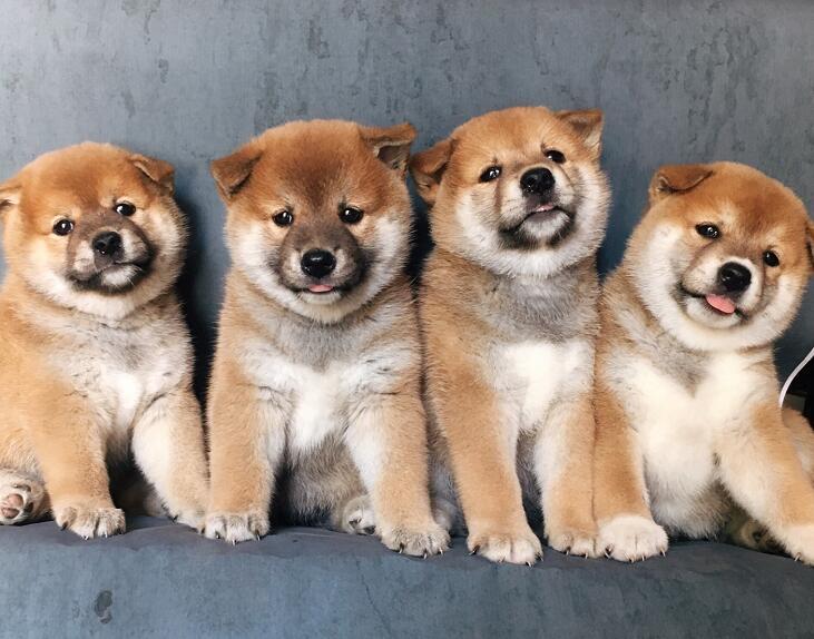 四只可爱的小柴犬.jpg