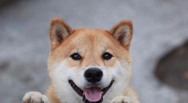 养一只小柴犬1.jpg