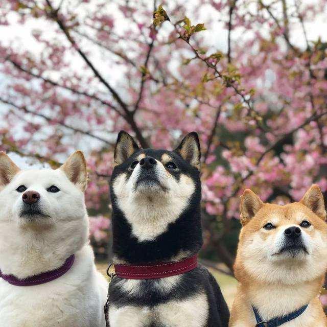 赤黑白三种颜色的柴犬.jpg