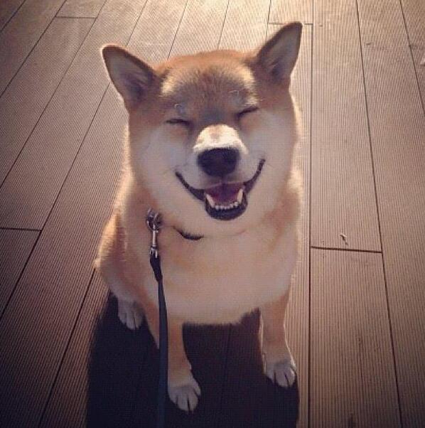 开心笑的柴犬.jpg