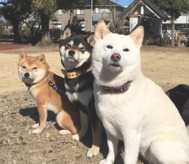 如何挑选柴犬2.jpg