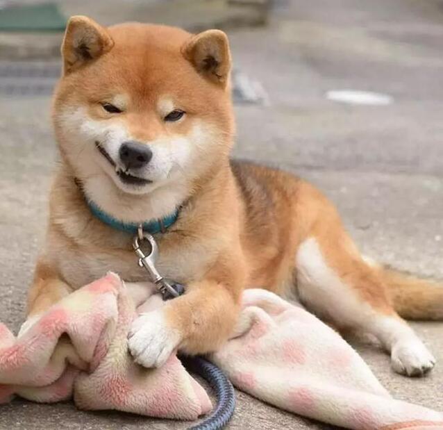 上班族适合养柴犬4.jpg