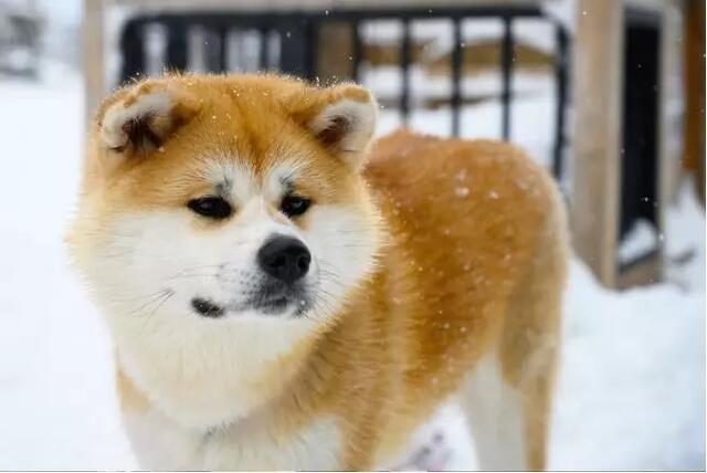 美国秋田犬6.jpg
