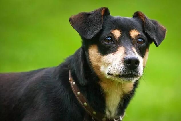 狗狗的听力.jpg