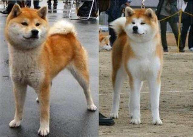 秋田犬2.jpg