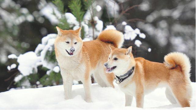 永远忠诚的秋田犬4.jpg