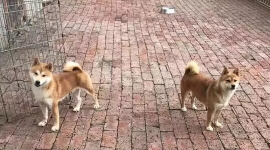 养户的柴犬.jpg