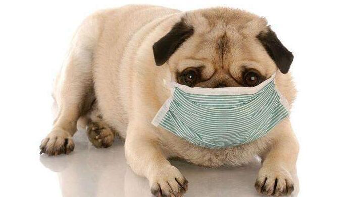犬窝咳吃什么药.jpg