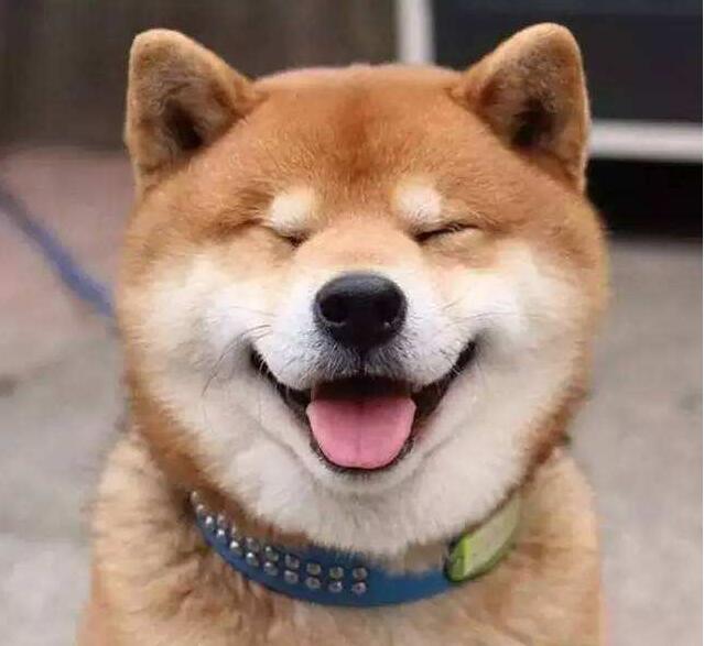 柴犬舌头粉红色.jpg