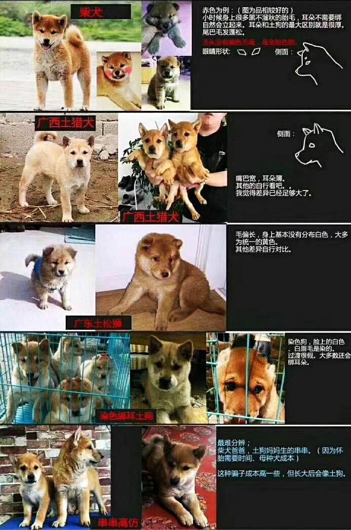 柴犬和土狗串串对比图片.jpg