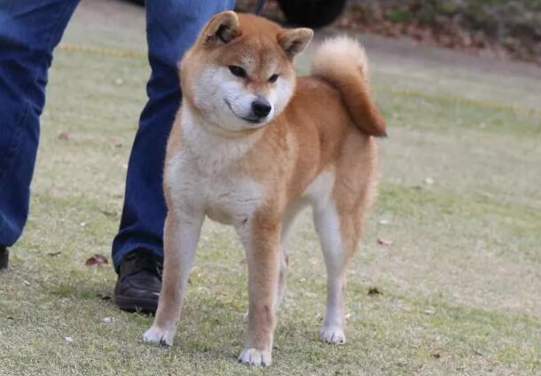 威武帅气的漂亮柴犬.jpg