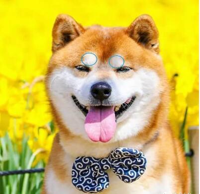 柴犬的豆豆眉.jpg