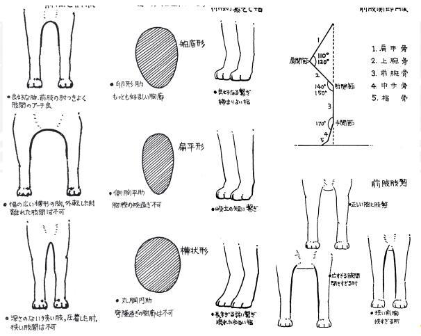 柴犬前肢和爪子标准.jpg