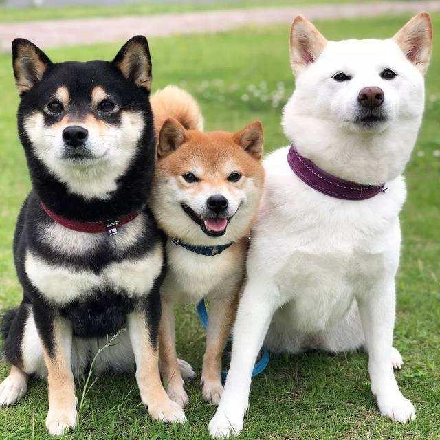 三只不同颜色的柴犬