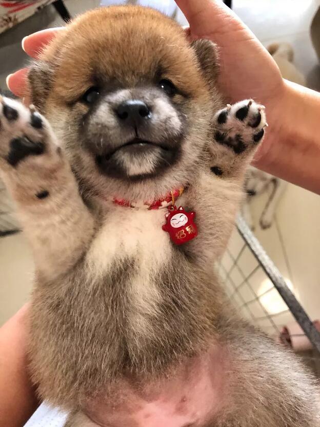 出生10天的柴犬宝宝.jpg