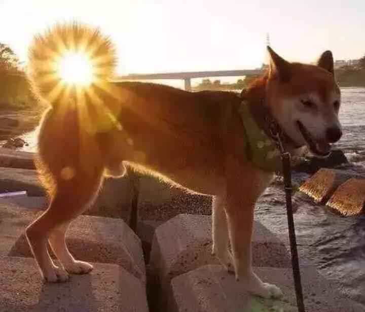 柴犬的尾巴7.jpg