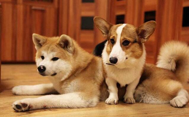 柯基和秋田犬.jpg