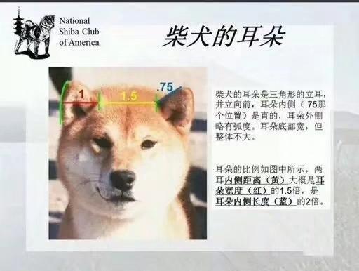 柴犬耳朵标准.jpg