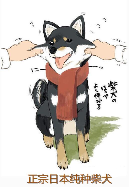 日本正宗柴犬.jpg