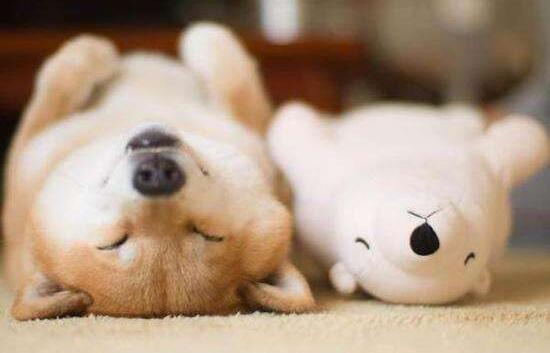 可爱的柴犬.jpg