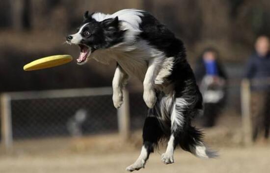 狗狗飞盘训练.jpg
