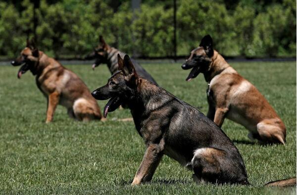 工作犬服从训练.jpg