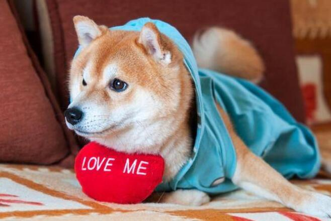 柴犬叼东西1.jpg