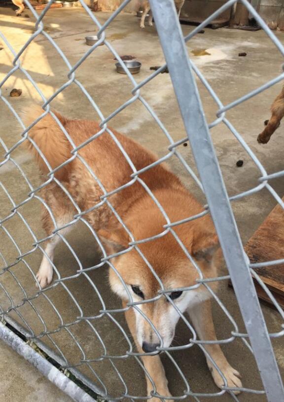 日本大阪养殖场的一只赤色柴犬2