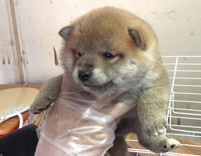 日本大阪养殖场的一只柴犬幼犬
