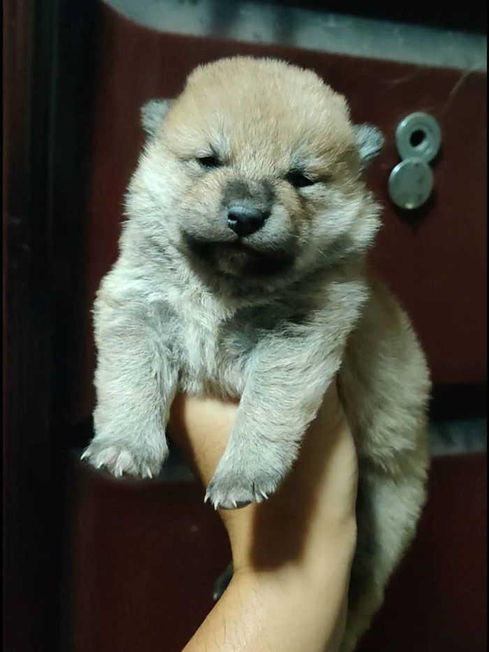 20天的小柴犬.jpg