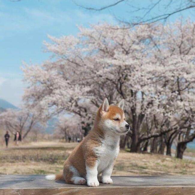 樱花下的小柴犬.jpg