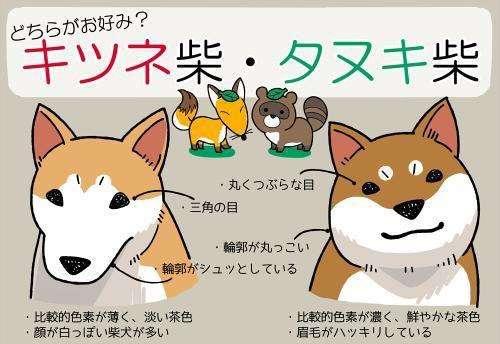 柴犬的两种脸型.jpg