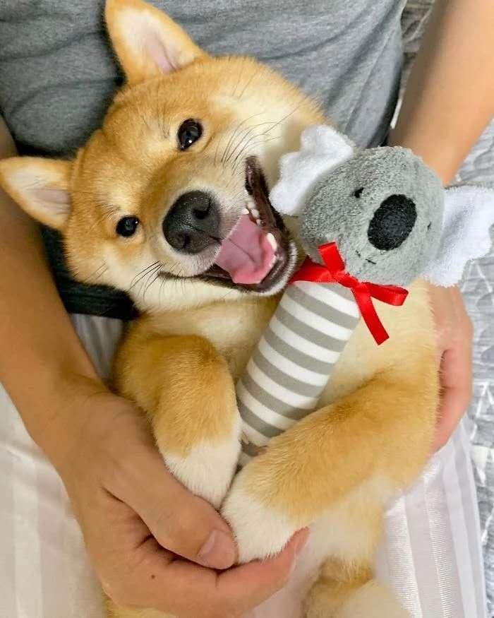 撒娇卖萌的柴犬.jpg