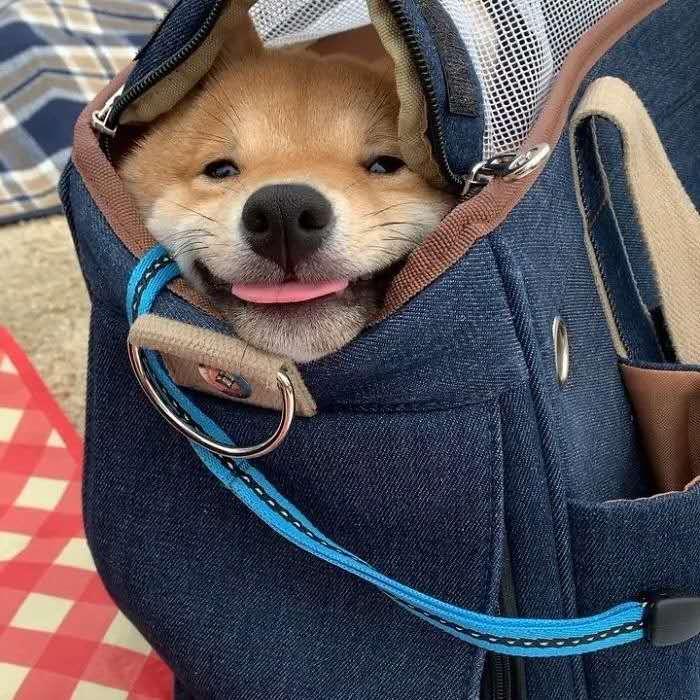 装在包里的可爱小柴犬.jpg