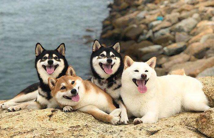 海边的四只柴犬.jpg
