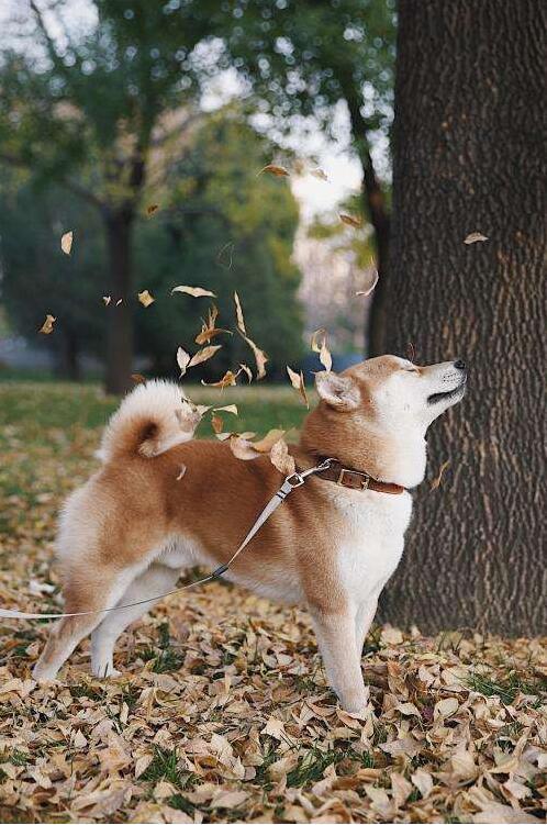 公园里遛柴犬.jpg