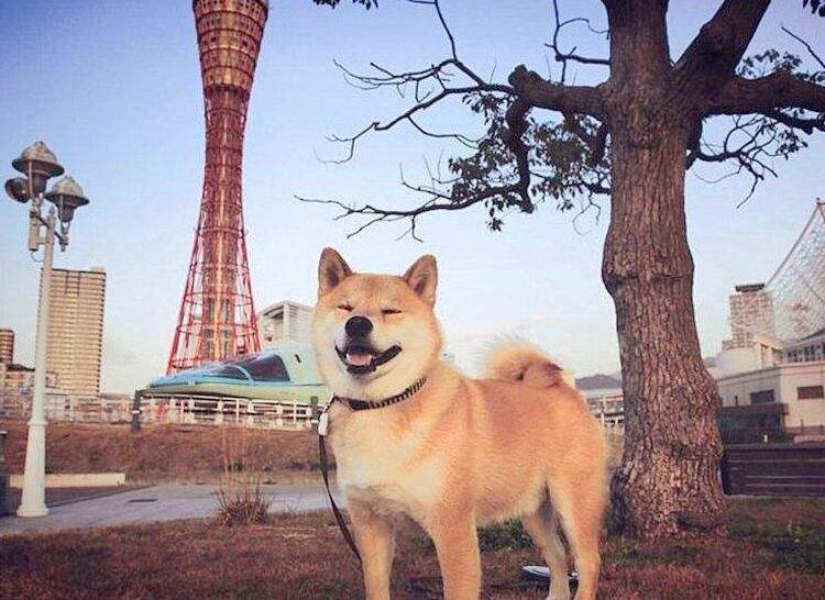正宗日本柴犬.jpg