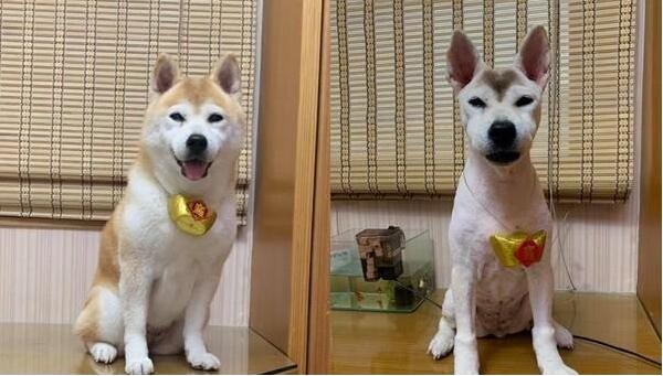 修剪前后的柴犬对比图.jpg