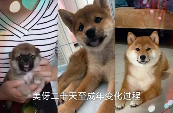 柴犬黑嘴变化图.jpg