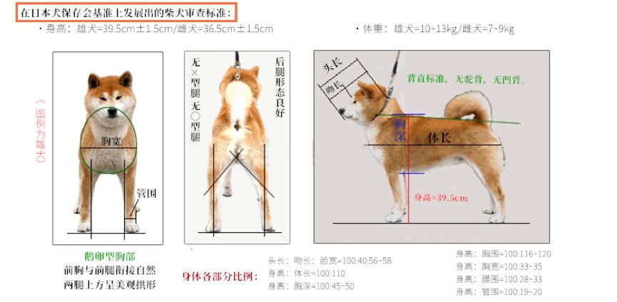 柴犬审查标准外观图.png